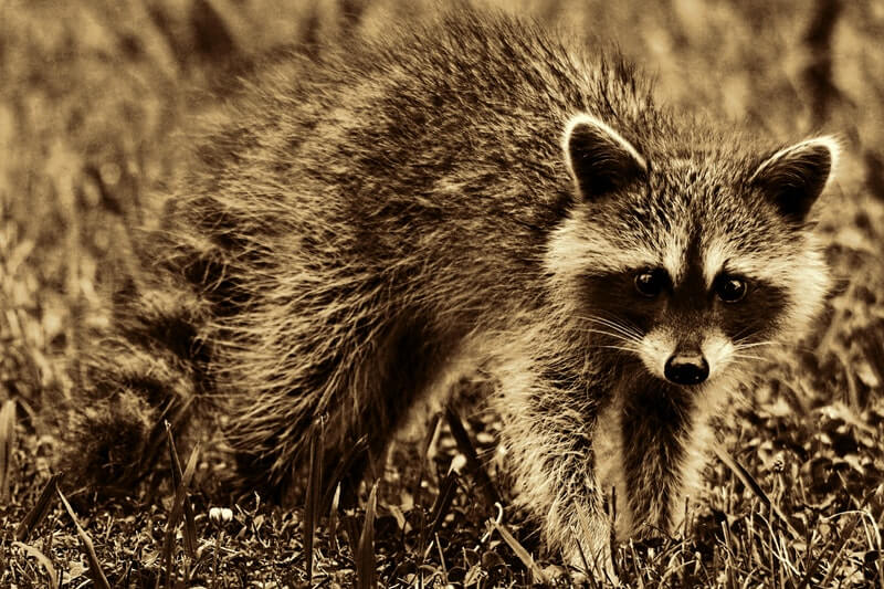 accounting news property taxes raccoons